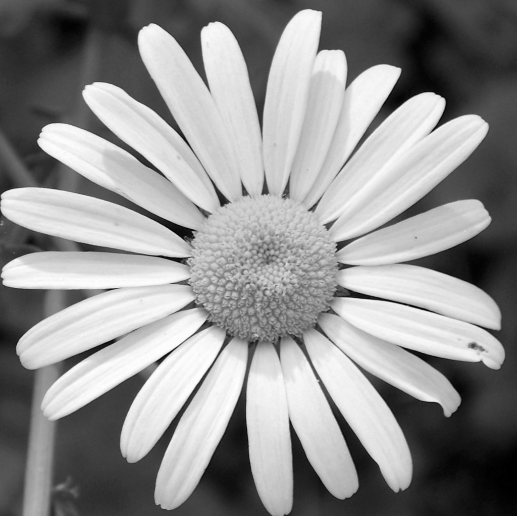 black and white daisy favicon