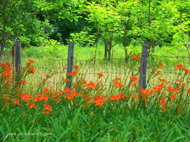 liliesfenceblog