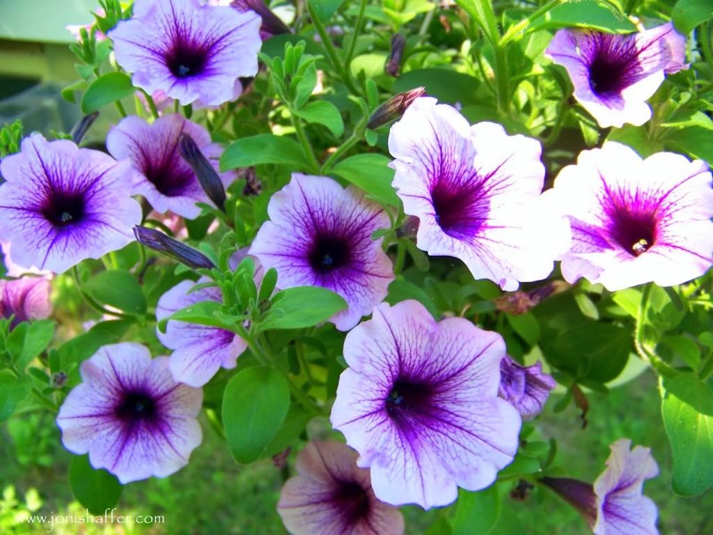 purplepetuniasblog